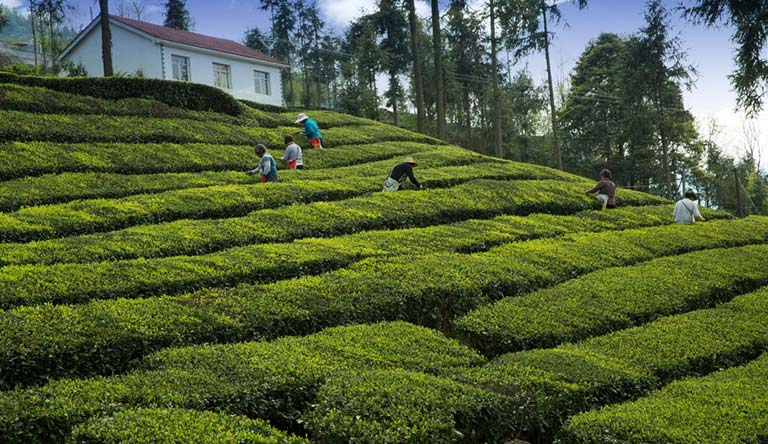 tea-plantations-darjeeling-india.jpg