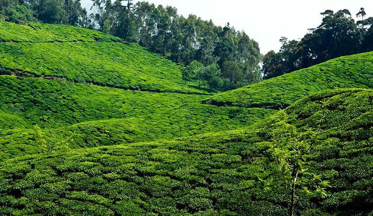 tea-garden-munnar-kerala-india.jpg