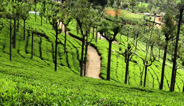 tea-estate-ooty-india